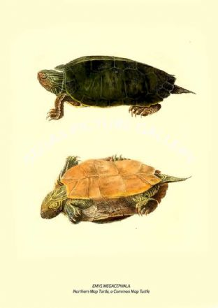 EMYS MEGACEPHALA - Northern Map Turtle, o Common Map Turtle